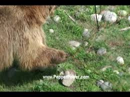 Bear Shocked With Electric Fence Udap Bear Shock Electric Food Fence Forest Service Approved Youtube