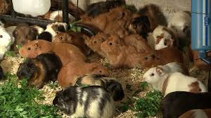 400 pregnant guinea pigs moved to SoCal from Humboldt County hoarding  situation - ABC7 San Francisco