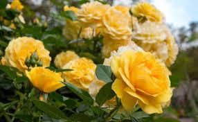 Rose Garden | The Huntington