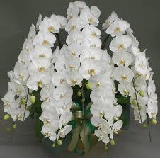 7reasons age of phalaenopsis is