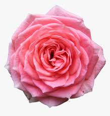 rose desktop wallpaper pink free pink