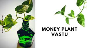 money plant vastu the definitve guide