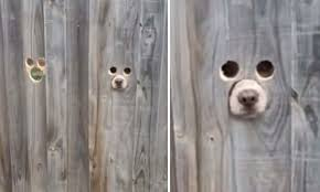 Owner Creates Ingenious Dog Size Holes In The Fence For His Nosey Pets To See Passers By Daily Mail Online