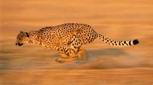 cheetahs amazing facts and pictures