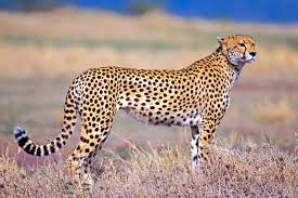 cheetahs the fastest land s