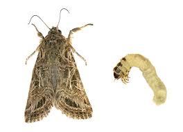 casemaking clothes moth p e i pest