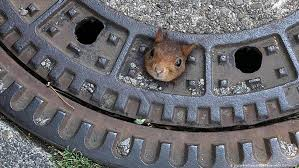 German Firefighters Rescue Squirrel Stuck In Manhole Cover News Dw 20 06 2019