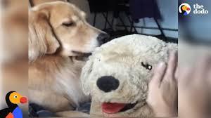 golden retriever dog gets jealous of