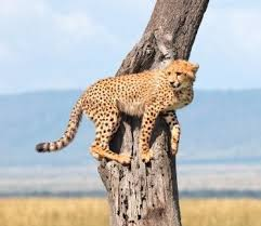 cheetah habitat and how do they survive
