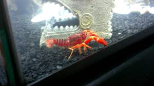 My pet red lobster - YouTube
