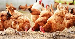 Reasons Why Chicken Farming is Profitable