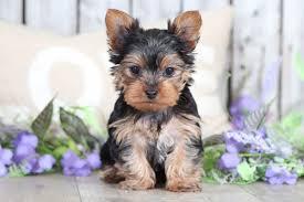 stunning female toy yorkie puppies