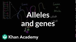 alleles definition allele vs gene