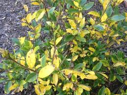gardenia yellowing and brown leaves