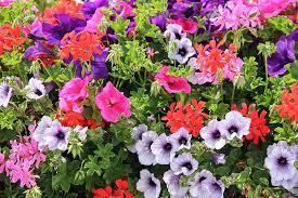 Fleurs Colorées Géranium Pétunia - Photo gratuite sur Pixabay