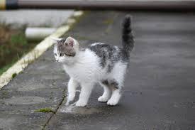 Fotos gratis : animal, mascota, pelaje, capa, pequeña, atigrado, gris,  bigote, bigotes, Animales, vertebrado, Un joven gatito, Un gato normal,  encantador, Ojos de gato, Gato blanco y negro, gato pequeño, Gatos pequeños