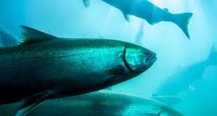 5 reasons to avoid farm raised salmon