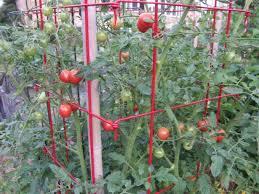 How To Prune Tomato Plants Hgtv