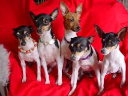 toy fox terrier puppies