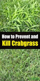 how to prevent and kill crabgrass