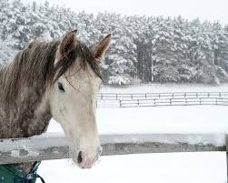 Horse Looking Over Fence During Snow Poster by © Brigitte Smith