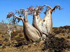 15 Best Evolution images   Socotra, Island chain, Yemen