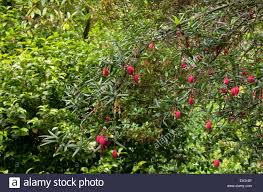 Crinodendron Hookerianum High Resolution Stock Photography and Images -  Alamy