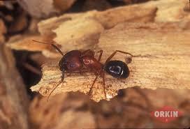 46+ Orkin Ants  PNG