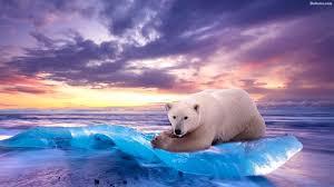 polar bear wallpapers 64 images