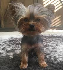 80 adorable yorkie haircuts for your puppy