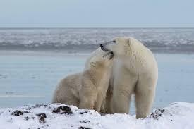 Why We Love Autumn Polar Bear Tours Arctictoday