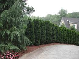 Columnar Plants Add Interest To Any Landscape Arborvitae