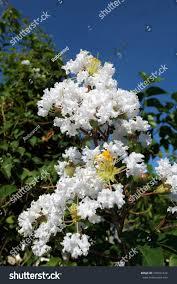 Crape Myrtle White Flowers Under Blue Stock Photo (Edit Now) 739017424