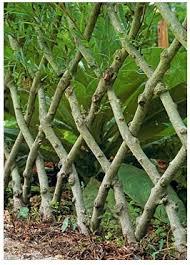 Favorite Garden Element Espalier Trees Living Willow Fence Living Willow Willow Fence