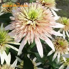 2019 flower seeds 50 seeds indian