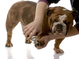 how to cut a pitbull nails a quick