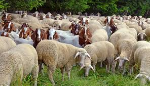 Goats Vs Sheep Which Is Better For Your Backyard Qc Supply