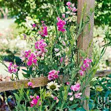 Sweet Pea Better Homes Gardens