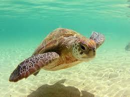 sea turtles wallpaper 1600x1200 59021