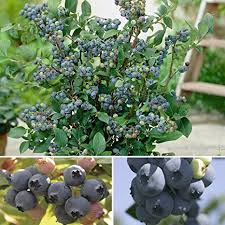 Blueberry Plant Collection with 3-Varieties in 9cm Pots: Amazon.co ...