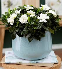 gardenia plant care guide growing info