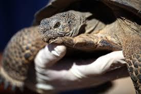 In The Battle Of Desert Tortoise Vs Marines The Tortoise Wins For Now The Washington Post