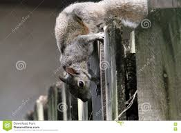 Mischievous Squirrel On Fence Stock Image Image Of Claws Animals 76066023