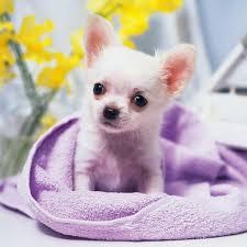 s cute chihuahua puppy ipad