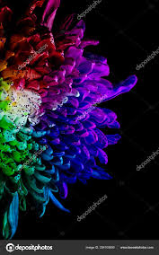 rainbow colored dahlia low key studio