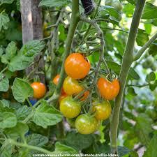 5 Terrific Tomato Trellis Ideas For Easy Harvesting