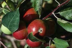grow and harvest apple trees