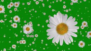 flowers falling animation green screen