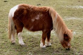 Shetland Pony, Ada Cole Rescue Centre, Redwings Horse Sanctuary,.. Stock  Photo, Picture And Royalty Free Image. Image 27598212.