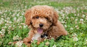bichon poodle mix the bich poo teddy